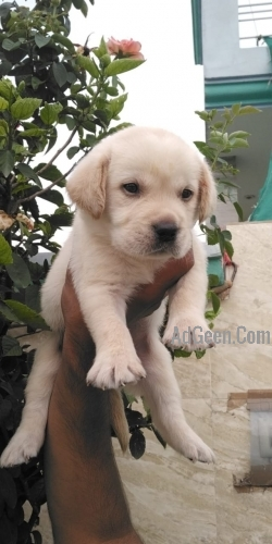 Top Quality Labrador Male Puppy