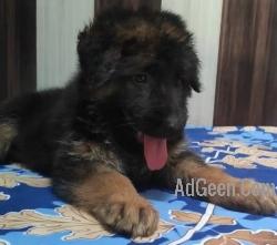 German Shepherd long coat female puppy