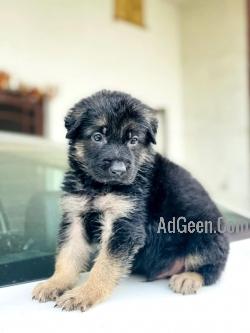 Jerman shepherd puppy male  double coat