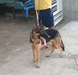 top quality rich coat gsd