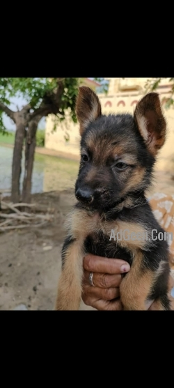 gsd german shepherd puppies 2 male 4 female sale