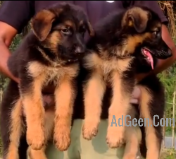 Top Quality German shepherd puppy Available