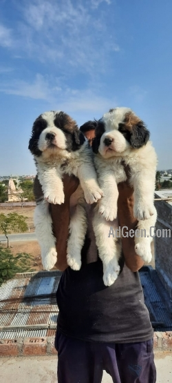40 days old  Saint Bernard 2 female and 8 month old Lhasa apso male puppy available