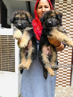 full heavy quality king size German shepherd import blood line pup for sell only 4 male