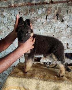 Male sale german shepherd pet