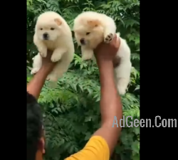 Chow chow male puppy available
